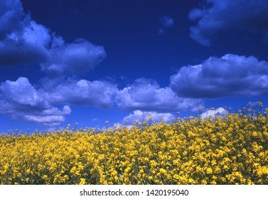 Yellow canola flowers in the summer sun with deep blue sky with clouds in the background
