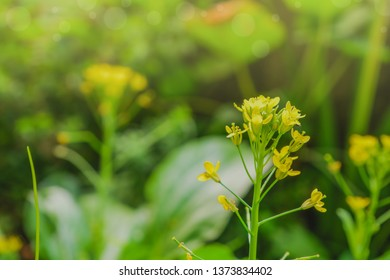 Yellow Cantonese Flower. Cantonese lettuce. .Brassica chinensis. Chinese kale. Yellow flowering Chinese cabbage