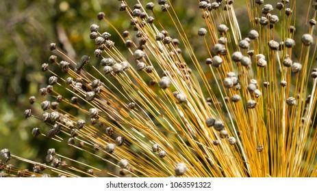 Yellow capim dourado (Golden Grass) in Brazil.
