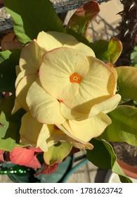 Yellow caribbean flower in Aruba