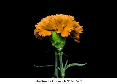 Yellow carnation flower images stock photos vectors shutterstock yellow carnation flowerautiful carnation flower blooming carnation flower on blackbackground mightylinksfo