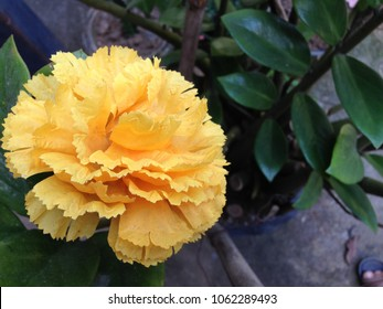 Yellow carnation images stock photos vectors shutterstock yellow carnation flowerautiful carnation flower blooming carnation flower on background mightylinksfo