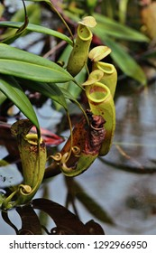 Yellow carnivorous pitcher-plant, with its reflection in a lake, Nepenthes tolanaro, Eastern Madagascar