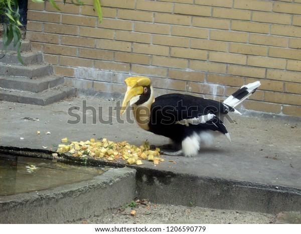 Yellow Casqued Hornbill. Bright beautiful bird with big yellow beak eating fruit.