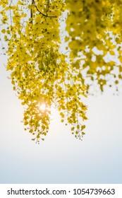 yellow cassia fistula flower bouquet with sunshine
