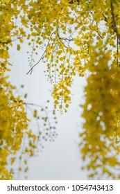 yellow cassia fistula flower bouquet in summer