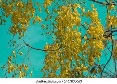 """A yellow Cassia fistula flower,National flower of Thailand call """"Dok Koon""""."""