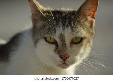 Yellow cat eyes: Close up of cat eyes, Close up of cat eyes. White and brown cat. Pink nose.