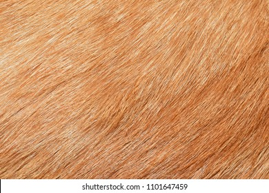 Yellow cat fur texture background