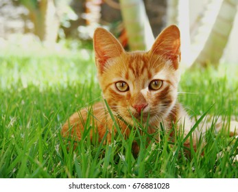 Yellow cat in grass