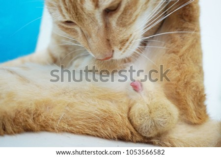 Why do cats lick penis