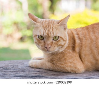 Yellow cat lying on wooden and looking at Camera.