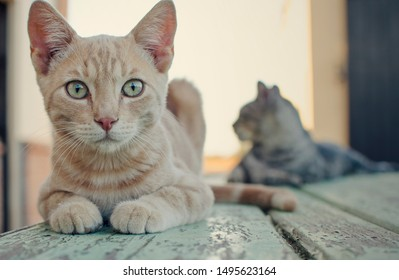 Yellow cat on a blue wooden table with its friend on the background