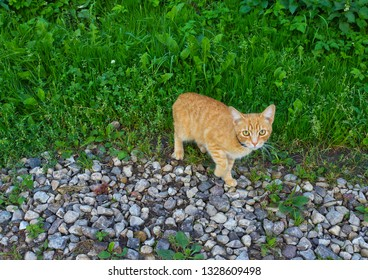 Yellow cat on the grass