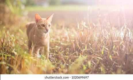 yellow cat walking alone