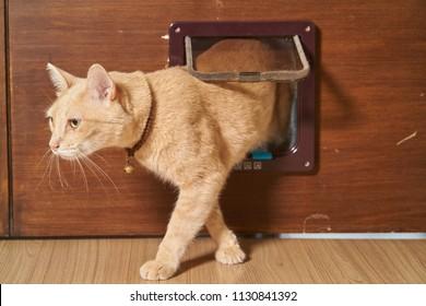 Yellow cat is walking through the cat flap door