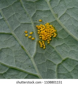 Yellow catterpillar, butterfly eggs of the Large white cabbage Butterfly, Pieris brassicae. Macro shot.