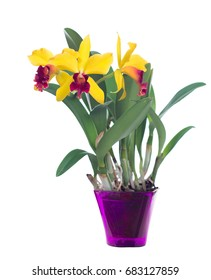 Yellow Cattleya in a flowerpot. Orchid. Isolated