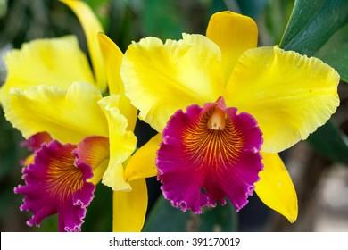 yellow Cattleya orchid flower blooms in summer in Thailand