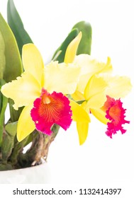 Yellow Cattleya orchid on white background