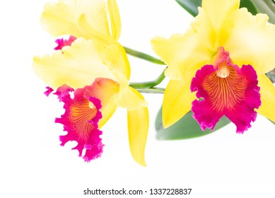 Yellow Cattleya orchids on white background
