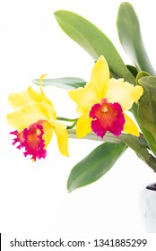 Yellow Cattleya orchids in a pastel green  ceramic pot