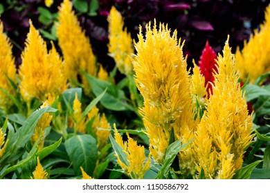 Yellow Celosia argentea on the garden. natural background