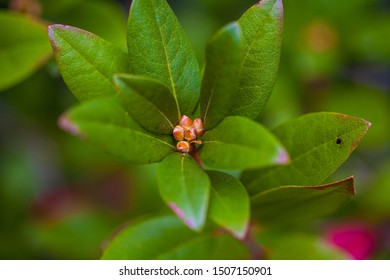 Yellow center leaf cluster plant