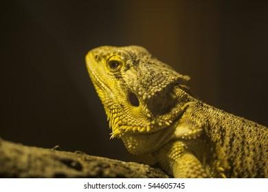 yellow chameleon.