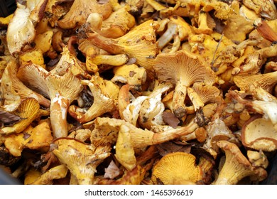 Yellow chanterelle (cantharellus cibarius). Chanterelle mushrooms is a species of golden chanterelle mushroom in the genus Cantharellus. Fresh organic mushrooms. Fungi background texture.