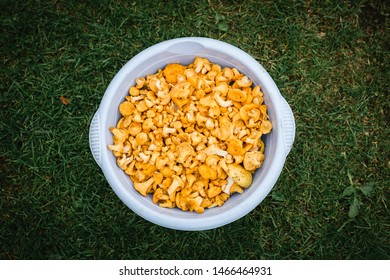 Yellow chanterelle (cantharellus cibarius). Chanterelle mushrooms is a species of golden chanterelle mushroom in the genus Cantharellus. Fresh organic mushrooms. Fungi background texture