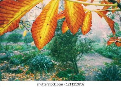 Yellow chestnut leaves