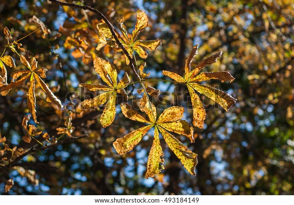 Yellow chestnut leaves in autumn on a background of the sun.