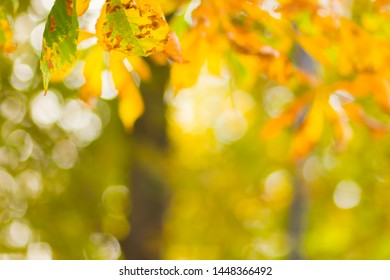 Yellow chestnut leaves on the tree. Golden leaves in autumn park. Yellow leaves on blurred background. Autumn concept. Copy space