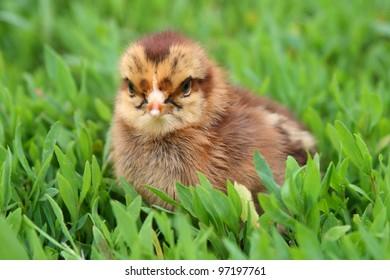 Yellow chicken on a green grass