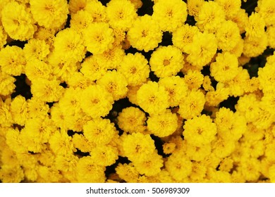 yellow chrysanthemum chrysanthemum bloom close-up