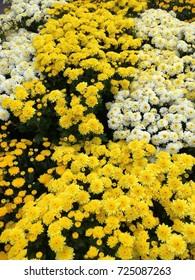 Yellow Chrysanthemum at the Farmers Market