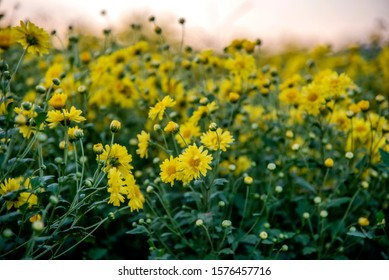Yellow Chrysanthemum field,Beautiful yellow Chrysanthemum flower in field for background