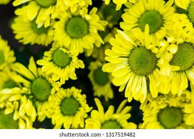 yellow chrysanthemum flower blooming view top