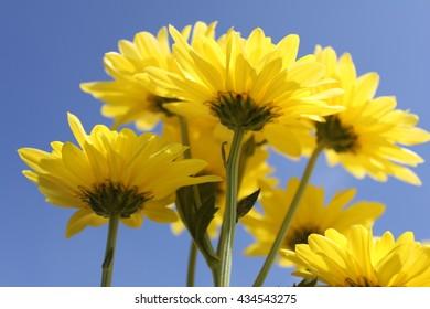 Yellow chrysanthemum flower in the blue sky