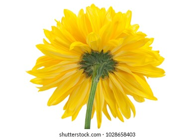 Yellow chrysanthemum flower closeup background