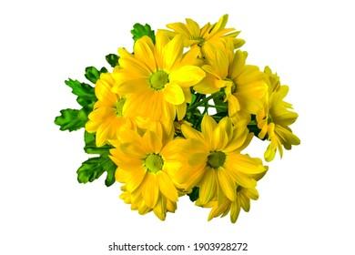 gelbe Chrysanthemumblume, Nahaufnahme auf weißem Hintergrund