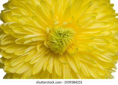 yellow chrysanthemum flower close-up, top view