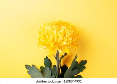 Yellow chrysanthemum flower on yellow background. Symbol of power, weath. Top view.