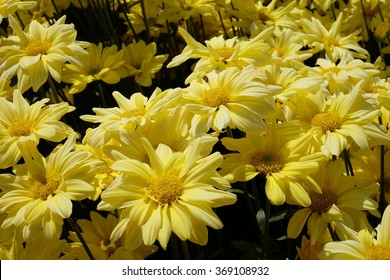 Yellow Chrysanthemum Flower(Chrysanthemum morifolium)