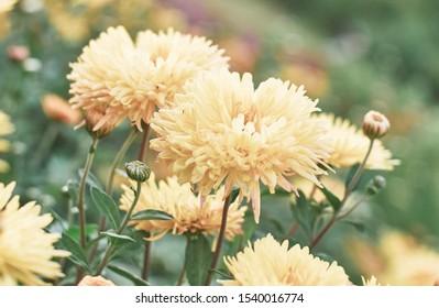 Yellow chrysanthemum flowers blooming in autumn in the garden of chrysanthemums.