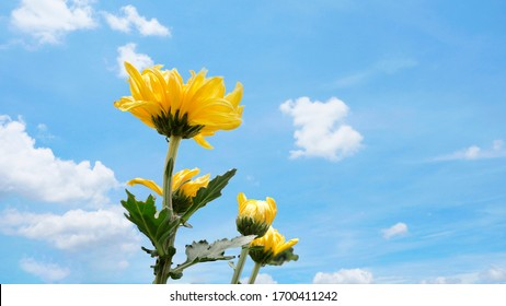 Yellow chrysanthemum in the flowers garden and blue sky for background.