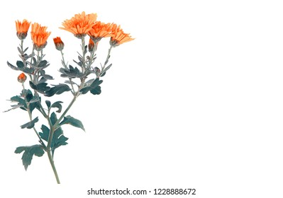 Yellow chrysanthemum flowers, isolated on white with copy space