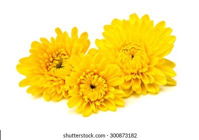 Yellow chrysanthemum flowers.isolated on white background