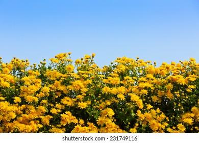Yellow chrysanthemum in full bloom background